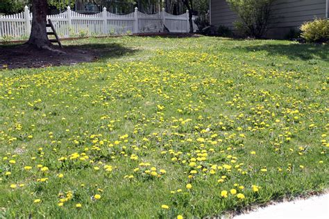 how to get rid of dandelions getting rid of dandelions and yard shame chris loves julia