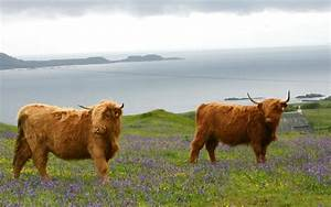 The Cattle That Make Scotch Beef So Special
