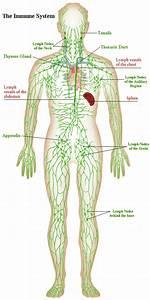 Lymph Nodes In Elbow Diagram - Anatomy Organ