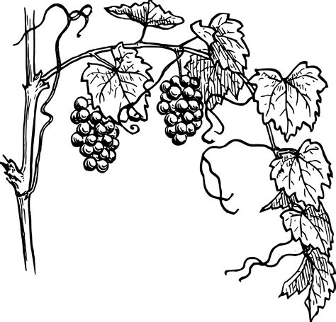 grapes drawing clipart panda  clipart images