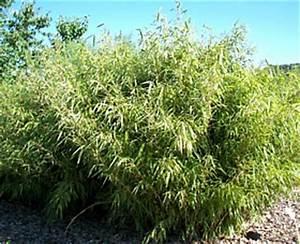 Bambus Braune Blätter : winterharter gartenbambus 12 arten wenig wuchernder geeigneter bambus f r den kleinen garten ~ Frokenaadalensverden.com Haus und Dekorationen