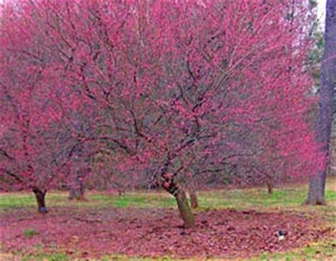 japanese apricot bernheim arboretum  research forest