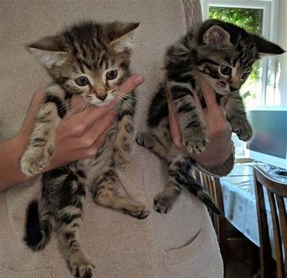 Tabby Kittens Adorable Cats Yorkshire West