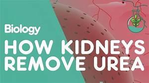 How The Kidneys Remove Urea