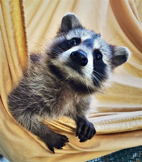 raccoons fun facts  england today