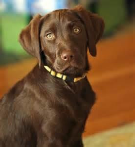 Brittany Spaniel Puppy Chocolate Lab Mix