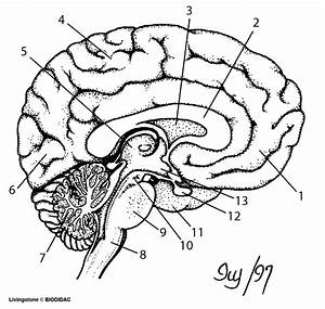 Blank Diagram Of The Brain The Nervous System