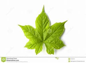 Single Isolated Leaf On A White Background Royalty Free ...