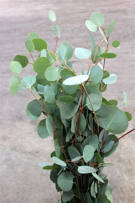 silver dollar eucalyptus stevens  son wholesale florist