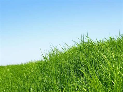semina tappeto erboso tappeto erboso domande e risposte giardinaggio tappeto
