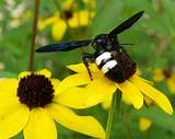 Enormous black and white striped wasps