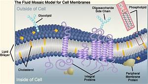 Biology 11  Topic 2  Transport Across The Membranes