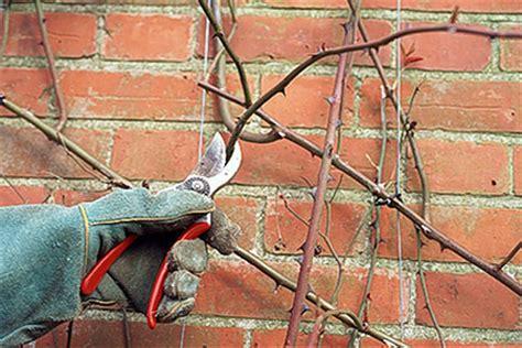 pruning climbing roses winter rose pruning climbing roses rhs gardening