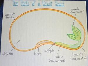 Parts Of A Seed Anchor Chart