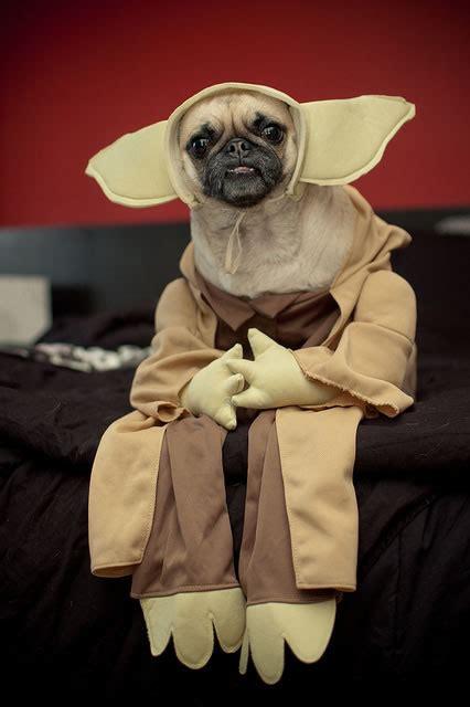 dog halloween costumes  crazy pug pics