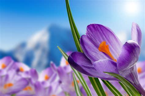 wallpaper purple crocuses purple flowers spring