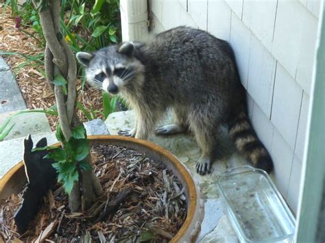 Raccoon Backyard by Backyard Nature Rascally Raccoon