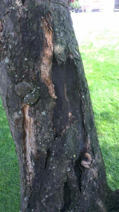 apfelbaum krankheiten stamm rinde platzt ab stamm wird schwarz am apfelbaum