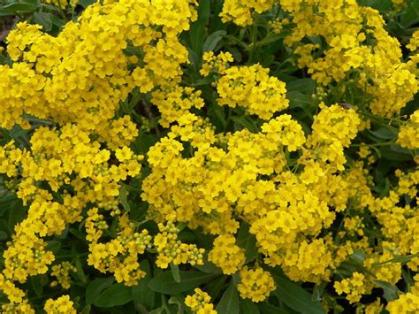 easy to grow perennials easy to grow perennial yellow alyssum dengarden