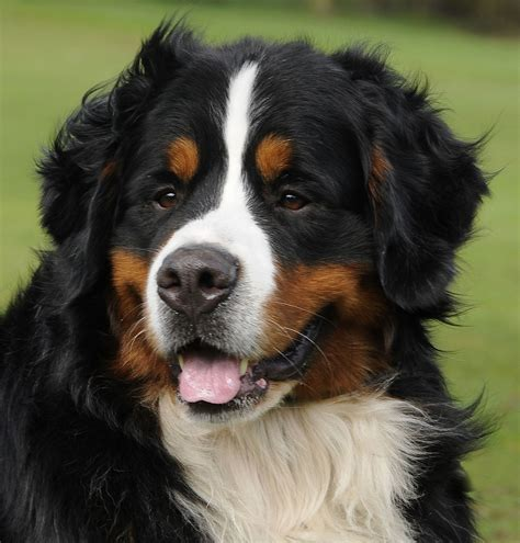 bernese mountain dog face imagesjpg