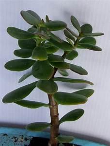 Geldbaum Feng Shui : pfennigbaum geldbaum 1 ca ankauf und verkauf anzeigen ~ Bigdaddyawards.com Haus und Dekorationen