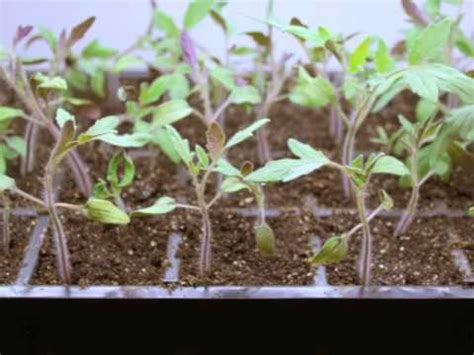 planting tomatoes indoors by growing tomatoes from seed