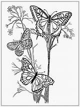 Coloring Pages Butterfly Adult Printable Butterflies Monarch Realistic Caterpillar Garden Animals sketch template