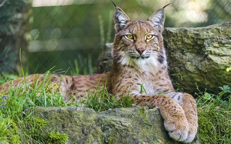 Nature, Animals, Lynx, Big Cats Wallpapers Hd Desktop