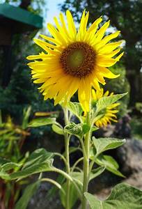 How To Grow Sunflowers For Seeds