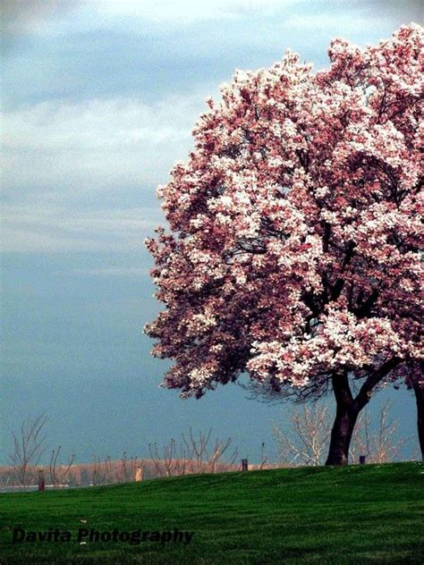 trees in bloom magnolia tree in bloom i want one of these outside my house beautiful trees pinterest