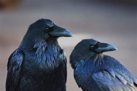 Animals Birds Crow Raven Wallpapers Hd Desktop And