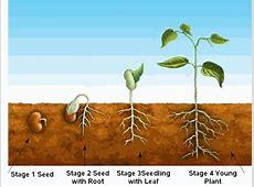 Mr Bean growing our own bean plant preschool Dublin 15