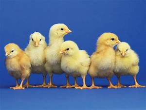 Mental number line - chicks can count just like humans  Chick