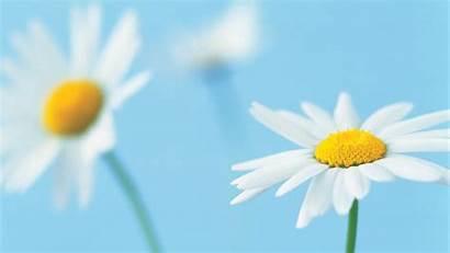Daisy Wallpapers Desktop Backgrounds Flowers Background Flower