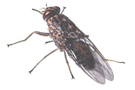 May Nagana Tsetse Flies  News  University Of Bristol