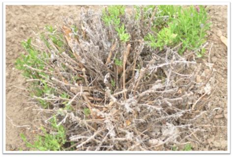 how to prune a lavender bush steed company lavender farm its time to prune