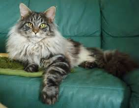 katzen sofa beautiful silver maine coon cat on a sofa wallpapers and images wallpapers pictures photos