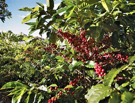 Navigate a Coffee Plantation Like a Pro