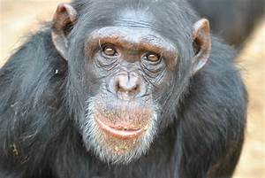 Chimpanzee Declared a Person? What He'll Share With Large ...