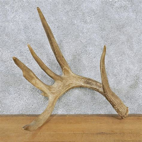 deer antler shed whitetail deer antler shed for sale 12560 the taxidermy