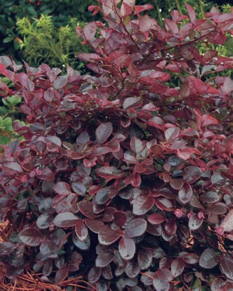 small evergreen shrubs zone 7 bloom feature magenta ribbons in spring plant type shrubs evergreen or deciduous evergreen usda