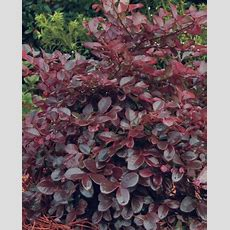Bloomfeature Magenta Ribbons In Spring Plant Type Shrubs