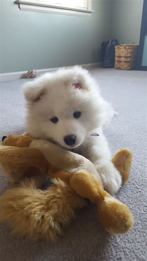 Samoyed Saturday For 07 14 18 37 Photos 1 Video
