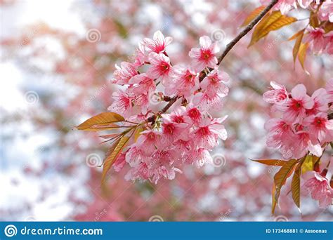 Branch Of Wild Himalayan Cherry Blossom Blooming During