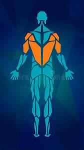 Muscular Anatomy Stock Illustration  Illustration Of Chest