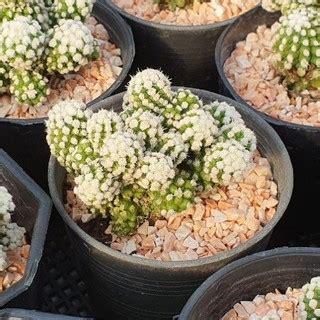 แคคตัส(กระบองเพชร) แมมโอรุกะฟอร์มกอ ดอกสีชมพู   Shopee ...
