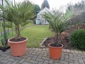 Palmen Für Draußen : palmen noch immer outdoor seit oktober 2013 seite 1 ~ Michelbontemps.com Haus und Dekorationen