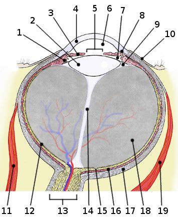 Eye Diagram For Quiz by Free Anatomy Quiz Anatomy Of The Eye A P 3 Nerve