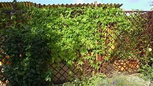 Immergrüne Kletterpflanze Für Zaun : kletterpflanzen als sichtschutz ~ Michelbontemps.com Haus und Dekorationen