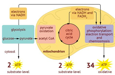 cellular respiration a level biology revision notes